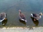 Les canards de Hyde Park
