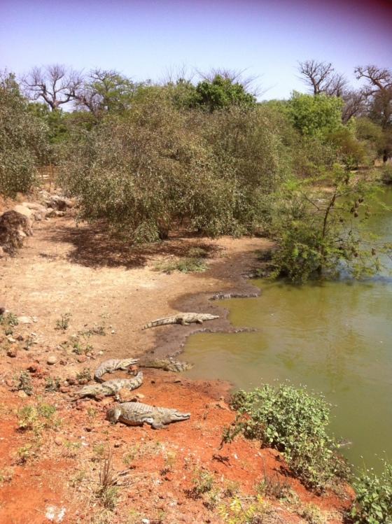 Crocodiles de la réserve de Bandia